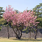 April's cherry blossom in Imperial Palace garden