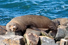Fur seal resting on Taiaroa Head